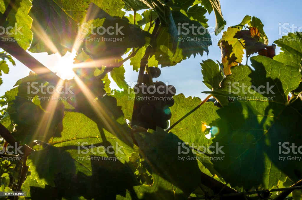Grapevine with leaves and red grapes and berries in the back light of...
