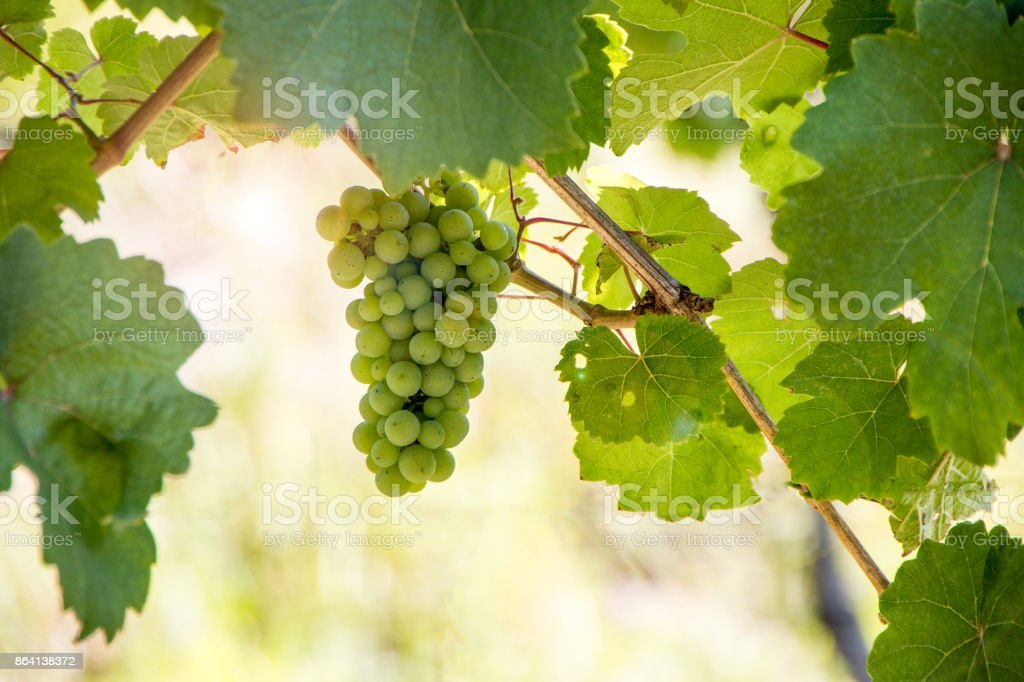 Grapevine with leaves royalty-free stock photo