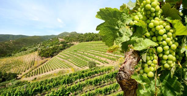 Weinrebe mit Weißwein im Weinberg in einem Weingut in der Toskana Region in der Nähe von Florenz, Italien Europa – Foto