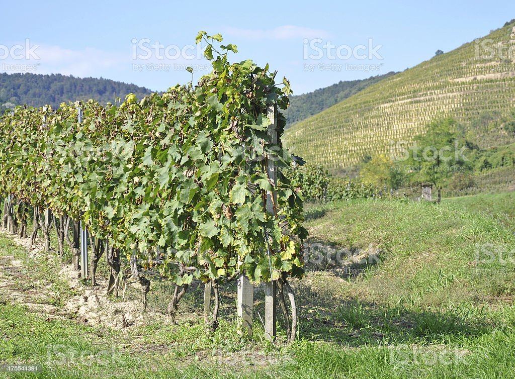 grapevines at the hill stock photo