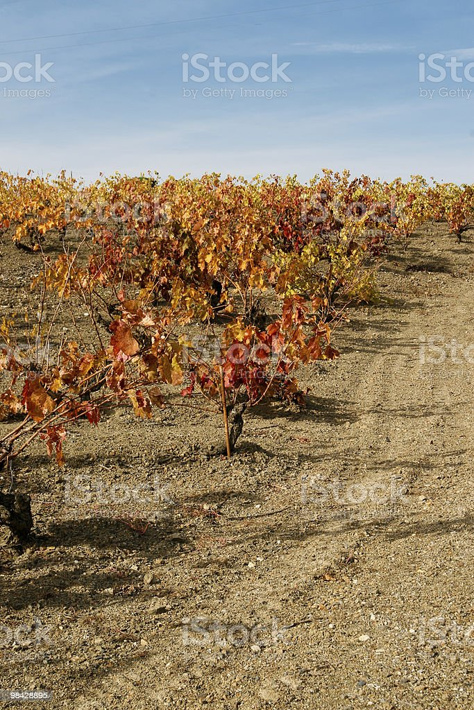 Grapevines in autumn royalty-free stock photo