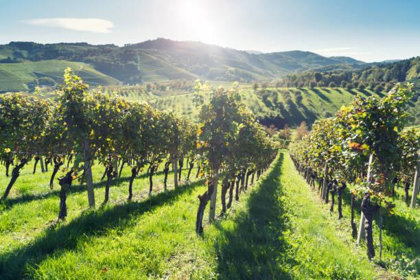 Weinreben ranken im Herbst – Foto