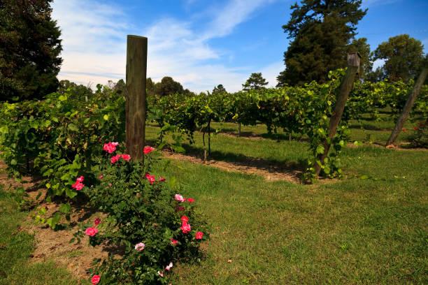 Grapevines in North Carolina in the Yadkin Valley Area