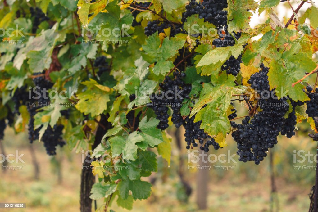 Grapevines in vineyard, Czech Republic stock photo