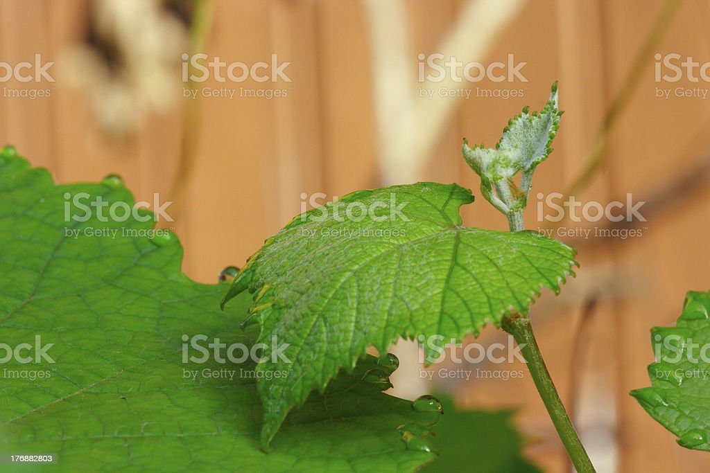 Grapevines new leaf stock photo