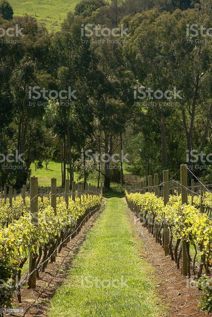 Grapevines on Mornington Peninsula stock photo