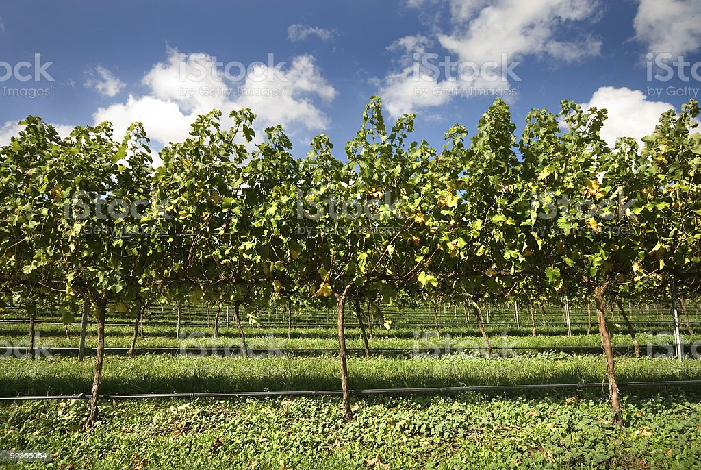 Grapevines royalty-free stock photo