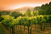 Subject: Napa Valley wine country mountain hillside vineyard in the morning mist and fog.