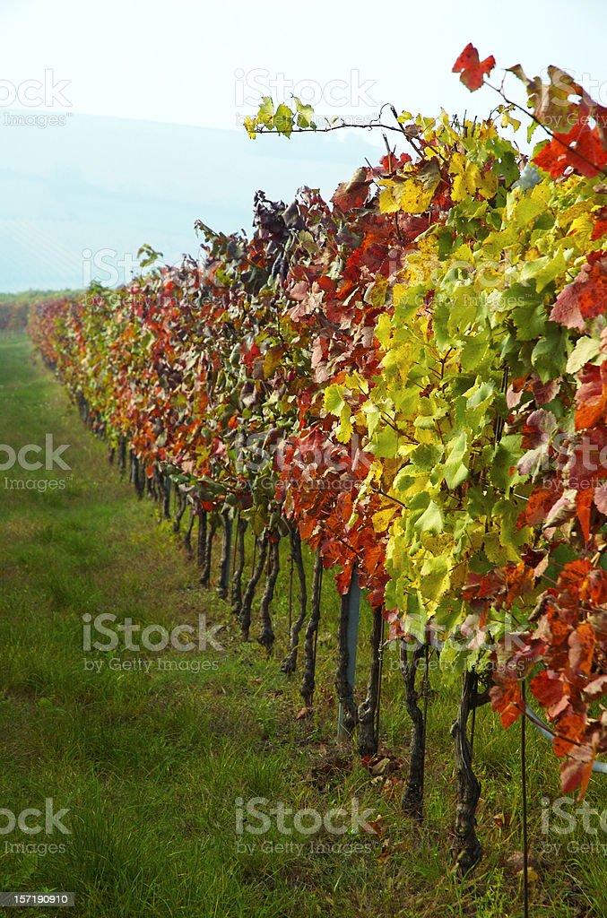 Grapewine royalty-free stock photo