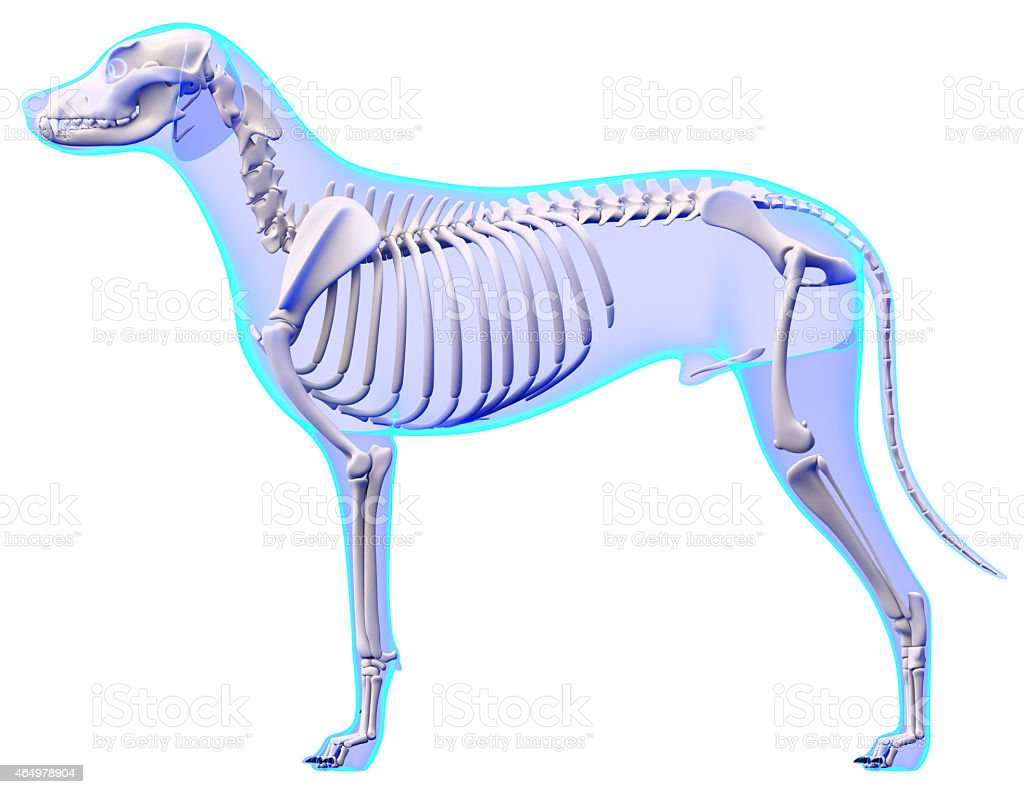 Blank Dog Skeleton Diagram - DIY Enthusiasts Wiring Diagrams •
