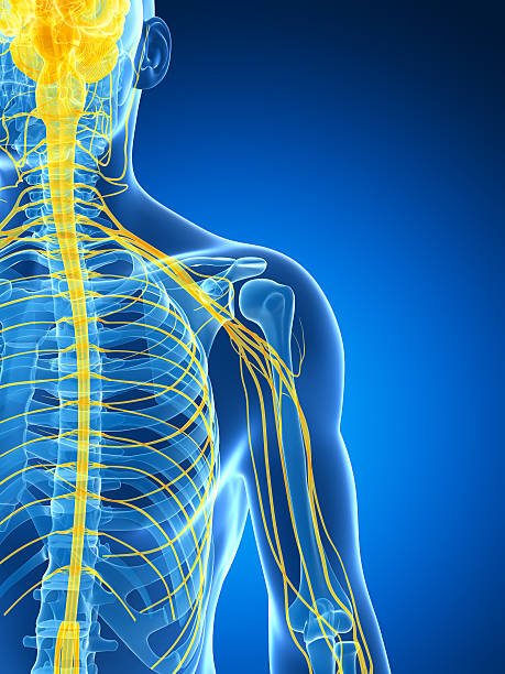 Graphic image of an X-ray shot shoulder nerves 3d rendered illustration of the male nerve system intercostal space stock pictures, royalty-free photos & images