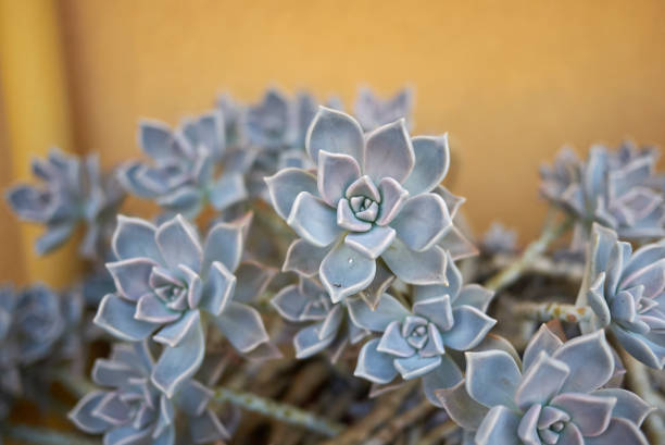Graptopetalum paraguayense Graptopetalum paraguayense gray leaves crassulaceae stock pictures, royalty-free photos & images