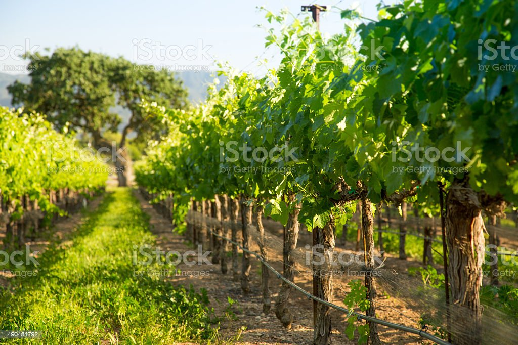 Grapvines Lead To Majestic Oak Tree, Santa Ynez, CA stock photo