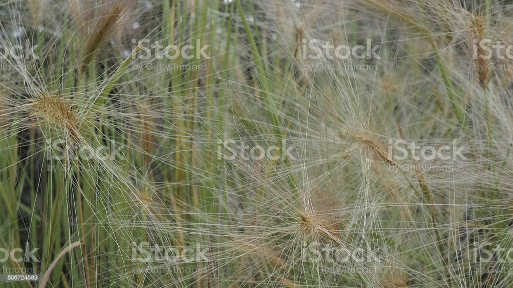 Gras Samen stock photo