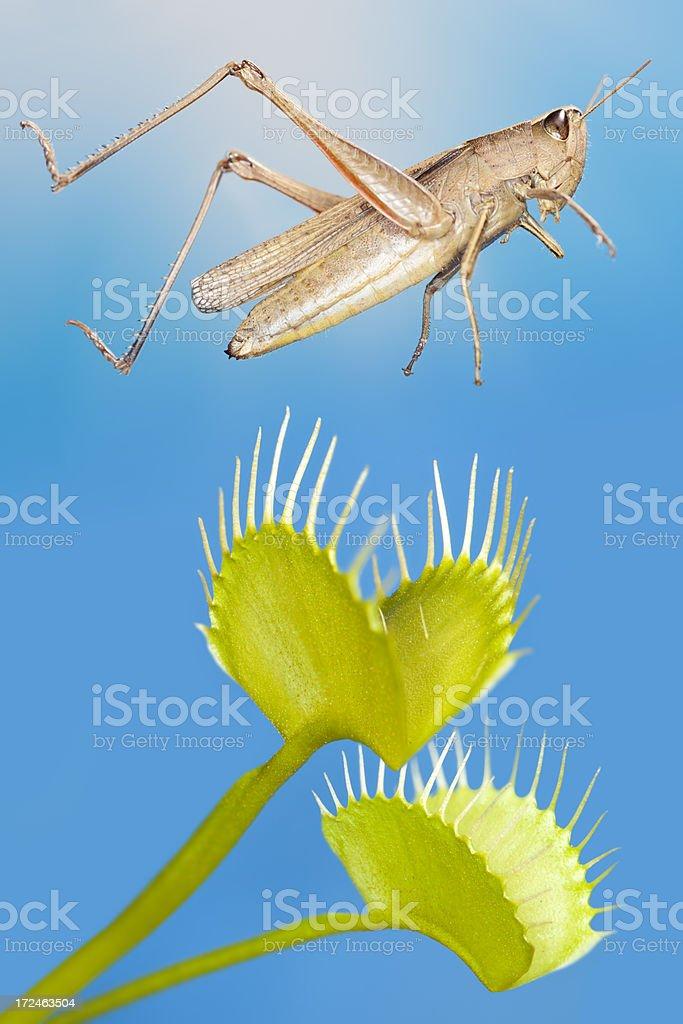 Grashopper jumping over venus flytrap stock photo