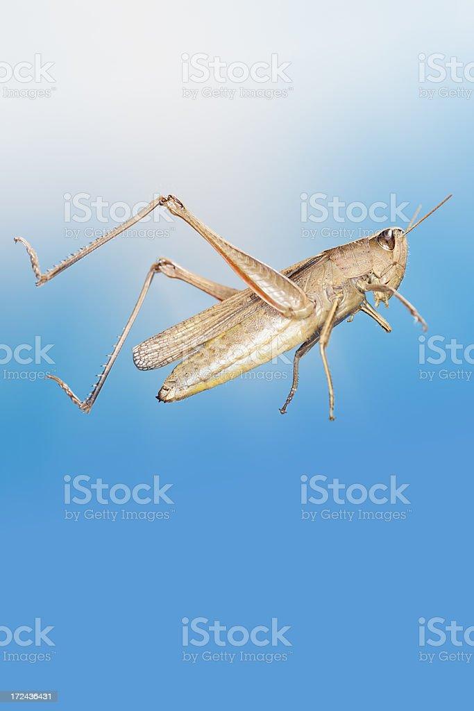 Grashopper jumping stock photo