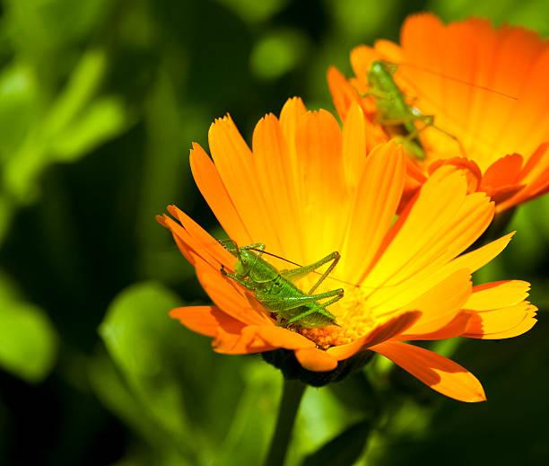 grashopper - locust swarm stockfoto's en -beelden