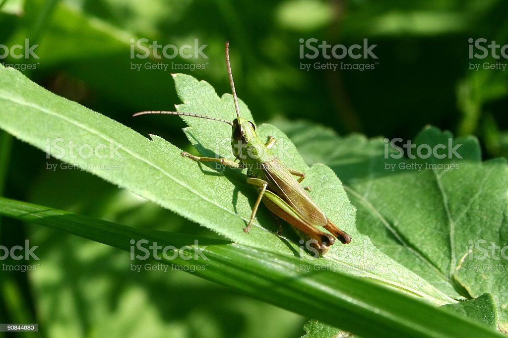 Grashopper royalty-free stock photo