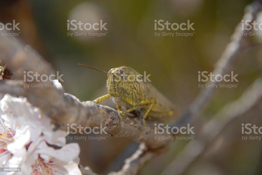 Grashüpfer/Heuschrecke auf einem Aprikosenbaum - Spanien photo libre de droits
