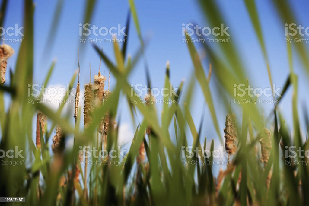 Grass and Cat Tails royalty-free stock photo