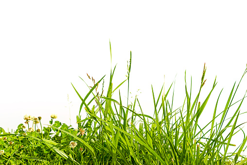 grass and clover isolated on white background