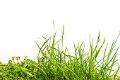 芝生、クローバー白で分離