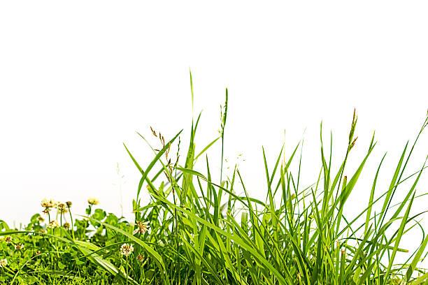 """grama e trevo isolada no branco """" - alto descrição geral - fotografias e filmes do acervo"""