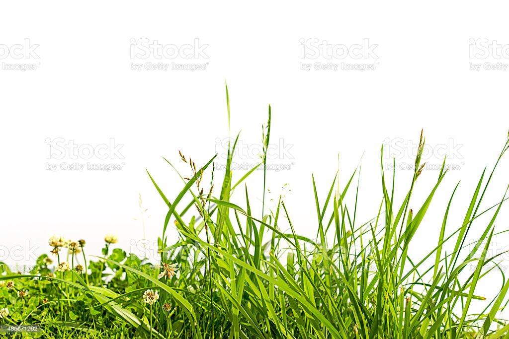 Hierba y trébol aislado sobre blanco - foto de stock