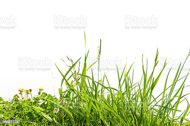Photo of grass and clover isolated on white