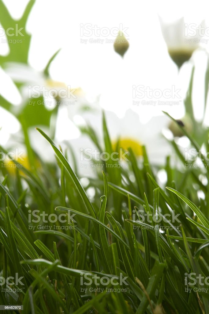 grass and daisies royalty-free stock photo