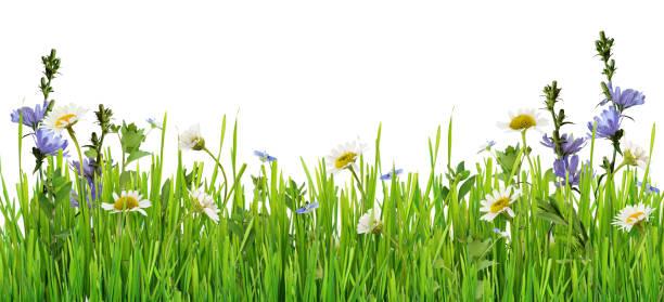 Grass and daisy flowers row stock photo