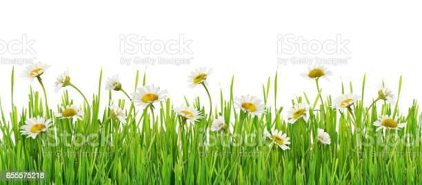 Grass and daisy flowers row picture id655575218?b=1&k=6&m=655575218&s=612x612&h=fl2kgut7 4f5 o tt7h5pvevzi85caz9r roxdfhpw4=