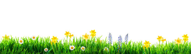 grass and spring flowers background - grass isolated foto e immagini stock