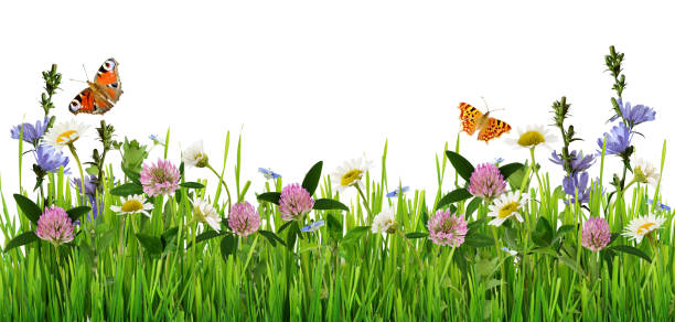 Grass and wild flowers border with butterflies picture id664087098?b=1&k=6&m=664087098&s=612x612&w=0&h=uryhfkddndhijrlh1ahnha3myzjpknwjq0iiltvpo5w=