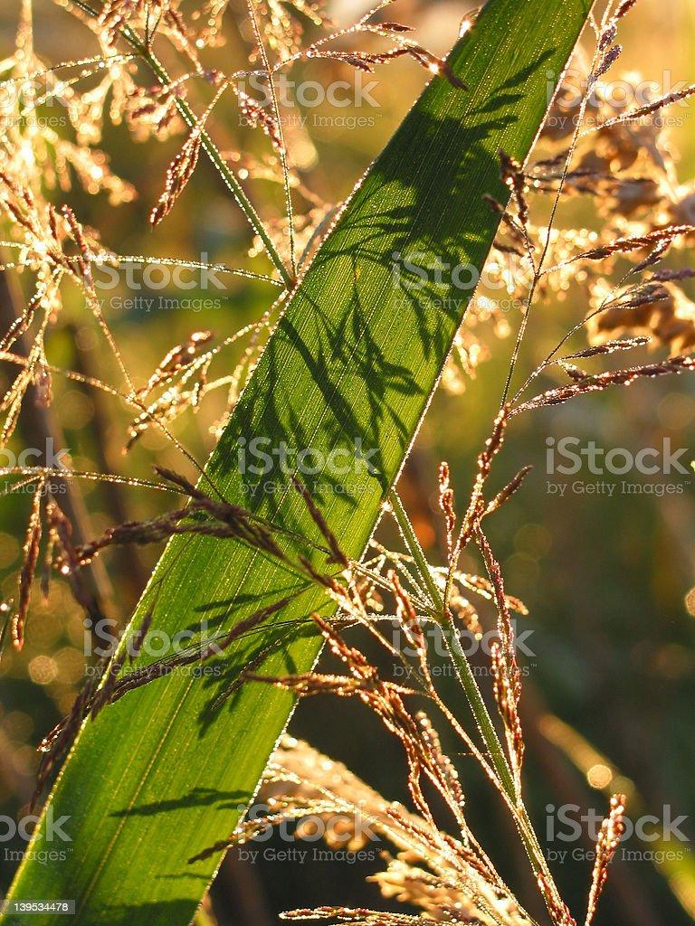 Grass at sunrise stock photo
