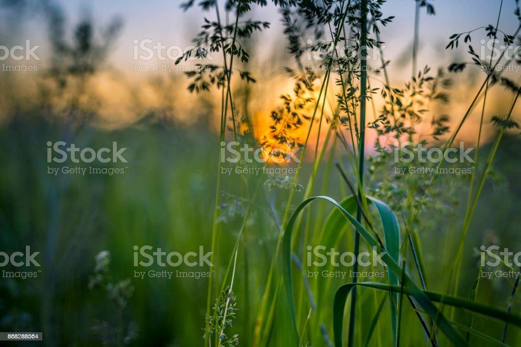 Hierba en puesta de sol - foto de stock
