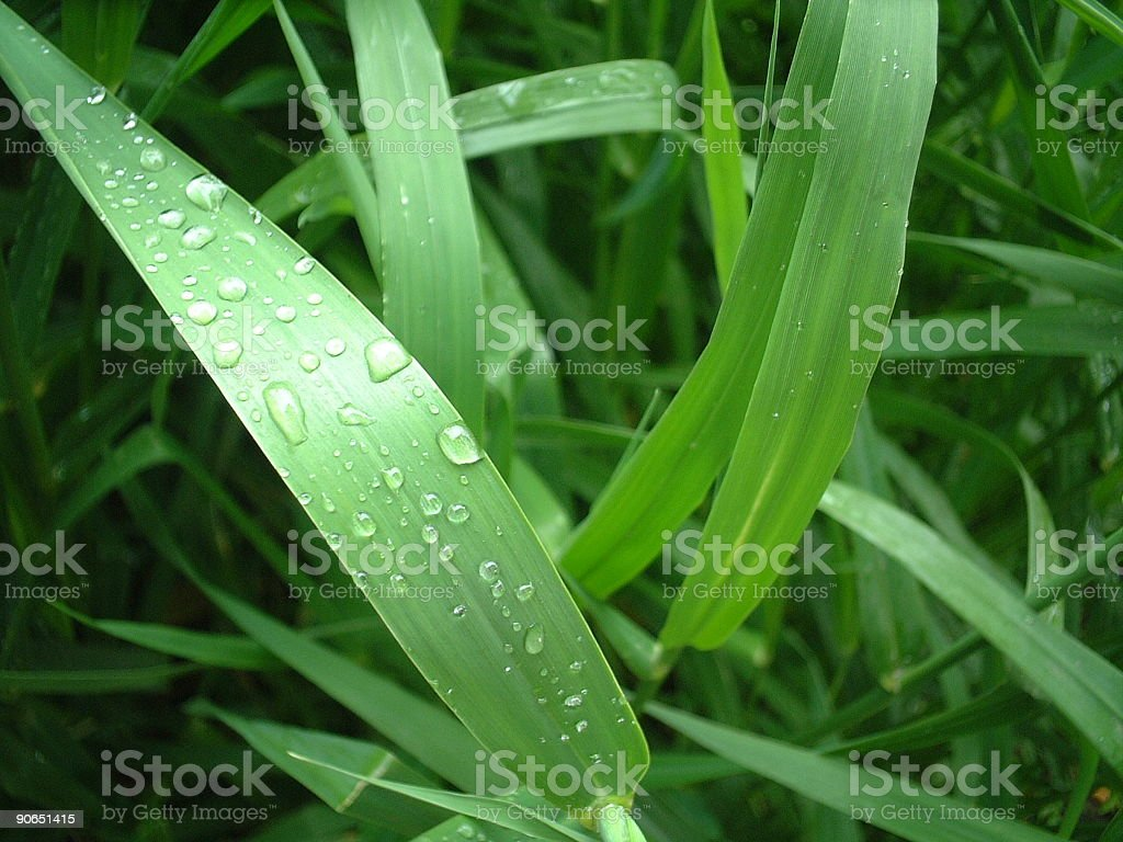Grass Blades Covered In Dew royalty-free stock photo