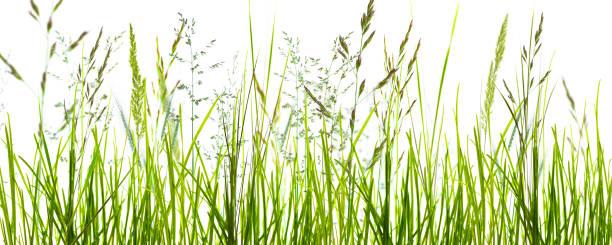 grass blades o white background - filo d'erba foto e immagini stock