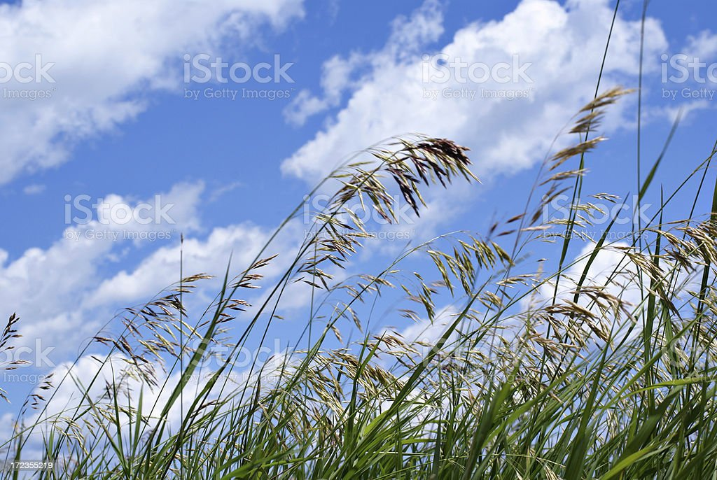 grass blowing in the wind royalty-free stock photo