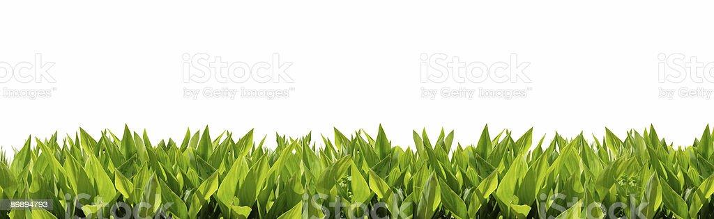 Hierba frontera (AMPLIA-leafed) 1/4 x1 foto de stock libre de derechos