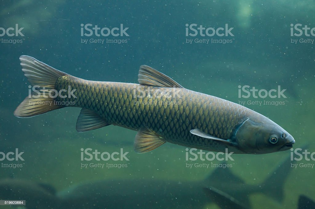 Grass carp (Ctenopharyngodon idella). stock photo