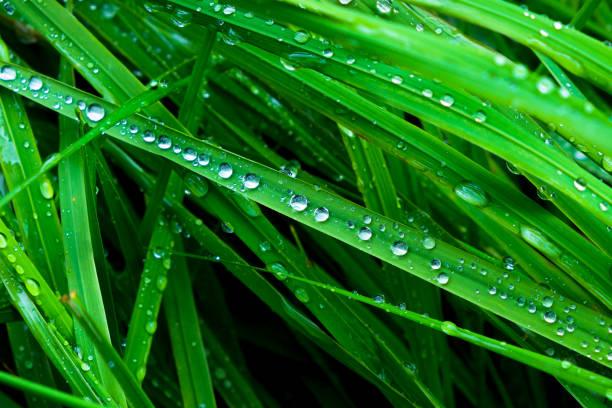 grass close up with rain drops - filo d'erba foto e immagini stock