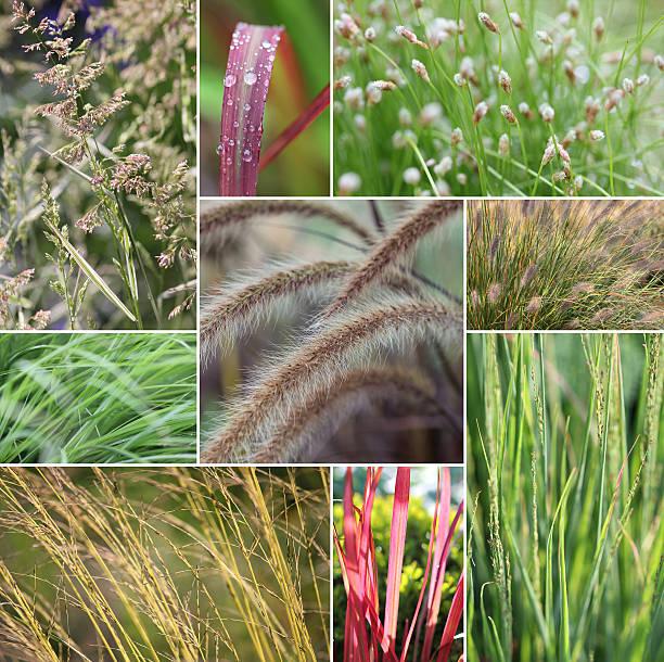 gras collage - chinaschilf stock-fotos und bilder