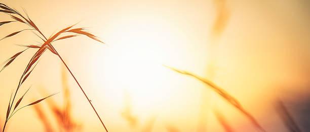 Grass Detail at Sunset stock photo