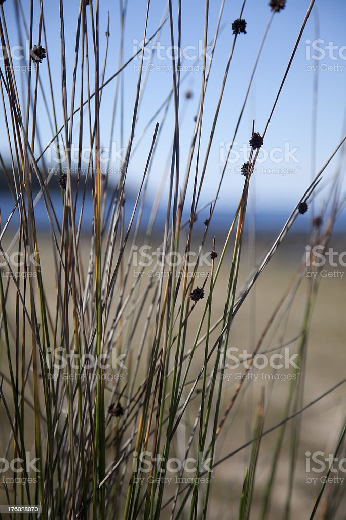 grass detail, beach scenic royalty-free stock photo