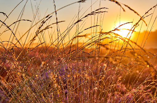High grass with dew drops on it during sunrise.
