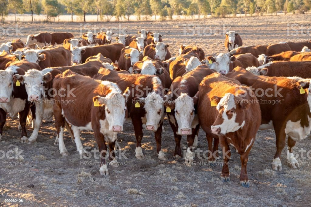 Grass fed beef cattle heifers in a herd waiting for feed stock photo