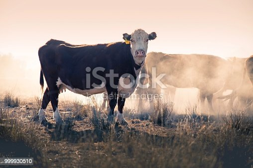 Hereford Grass fed beef cattle heifers in drought in rural NSW Australia waiting for feed in the dust