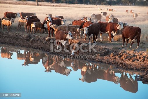 Hereford Grass fed beef cattle heifers in drought in rural NSW Australia drinking at dam at sunset