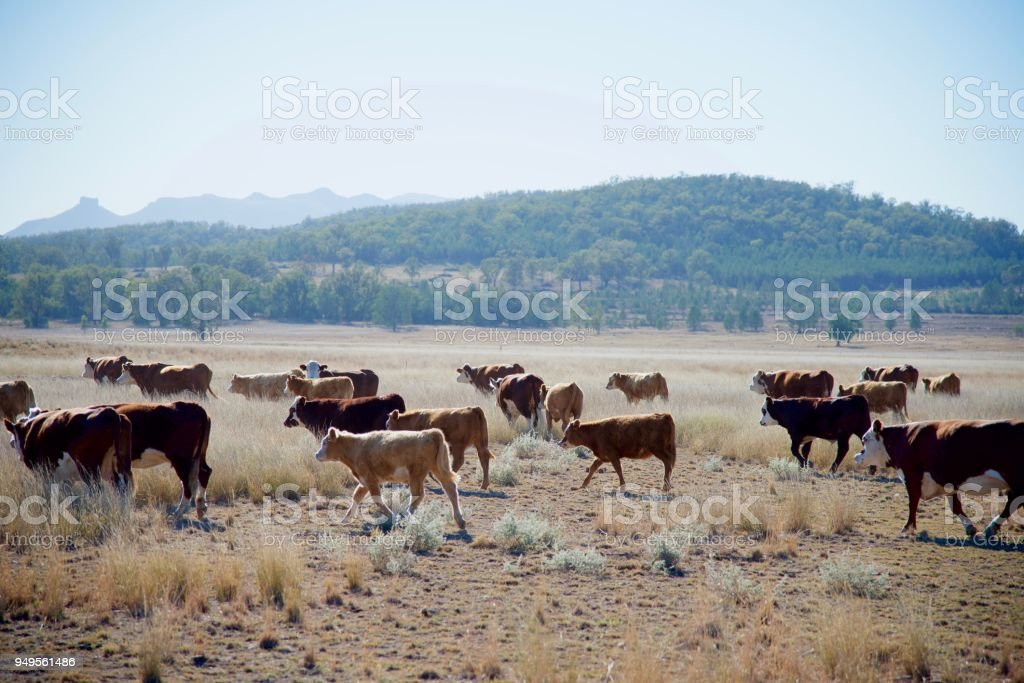 Grass fed beef cattle moving stock photo